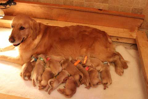 Maxie's 2011 University Litter consisting of six boys and five girls
