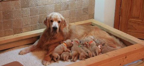 Cashie's 2012 Litter consisting of five boys and seven girls.