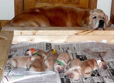Cashie's 2009 litter consisting of four boys and five girls
